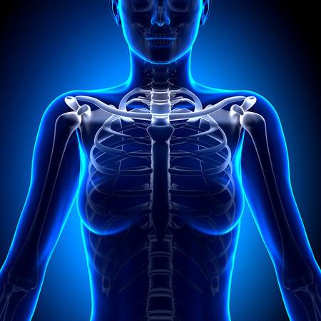 33946607 - female clavicle bone anatomy - anatomy bones